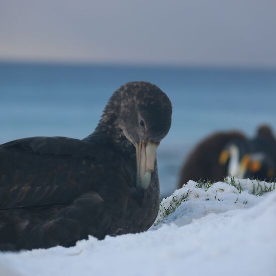 Northern giant petrel in the snow