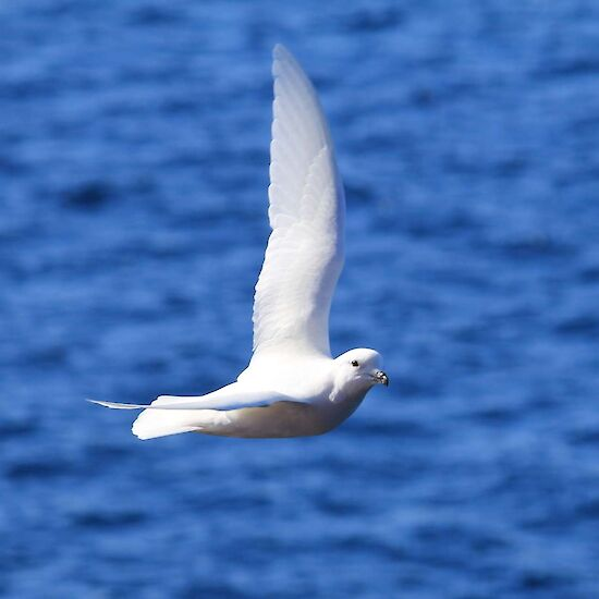 Snow petrel flying over a blue background