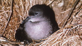The short-tailed shearwater here sits nestled into a bed of grass.