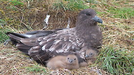Subantarctic skua with two fluffy brown chicks snuggled into a grass nest