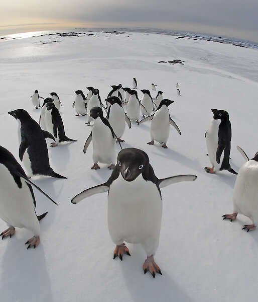 The concave lens shows the curve of the earth with a bunch of penguins waddling close to the camera.