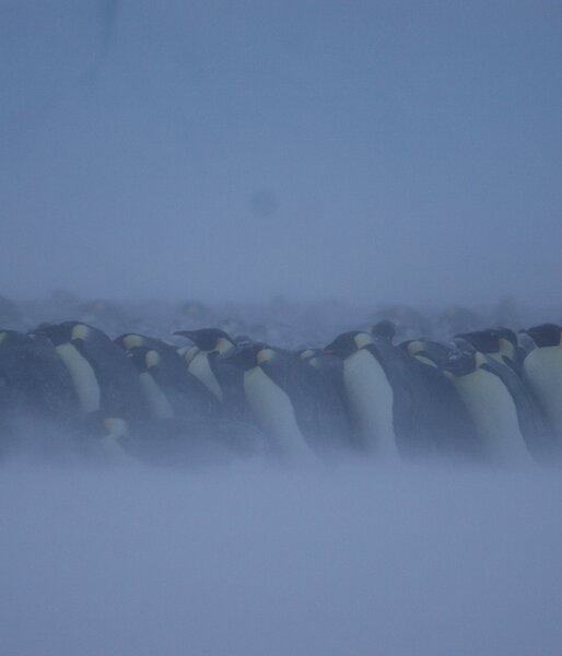 Emperor penguins in a huddle during a blizzard.