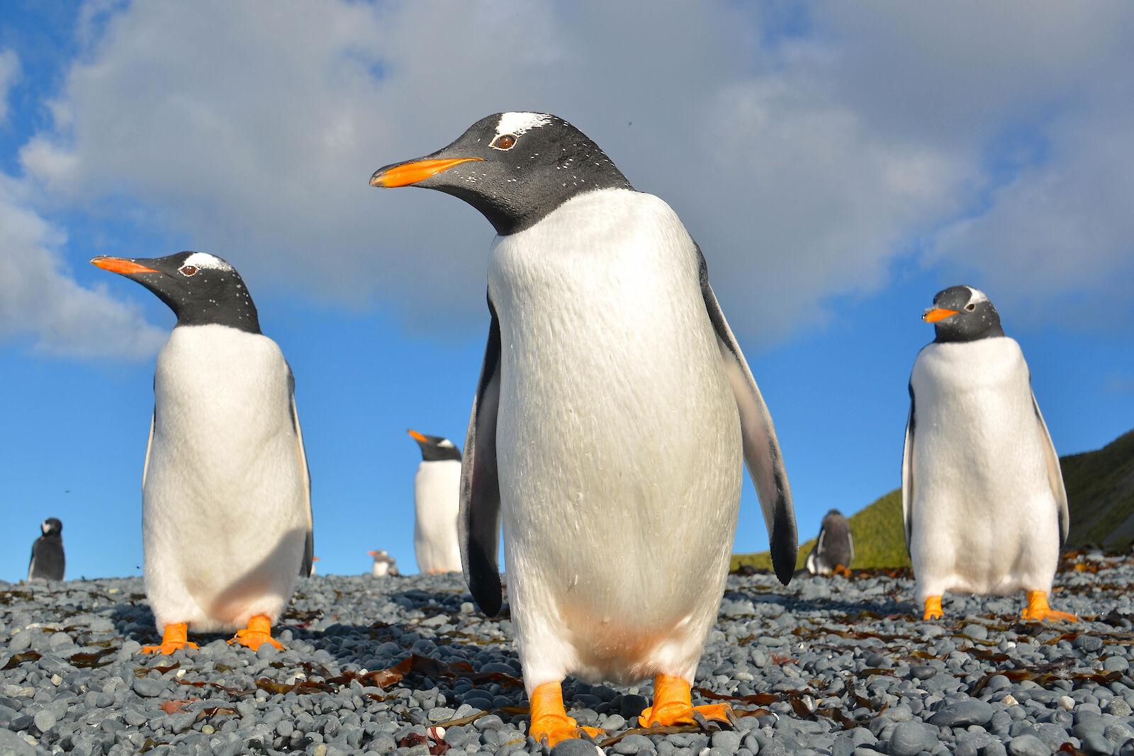 Gentoo penguins — Australian Antarctic Program