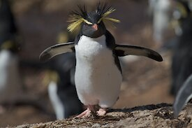 Northern rockhopper penguin with flippers spread