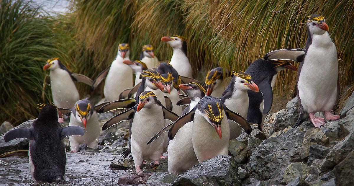 Royal penguin fun facts
