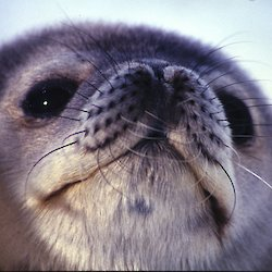 Very close-up shot of the furry nose and whiskers of a Weddell Seal pup