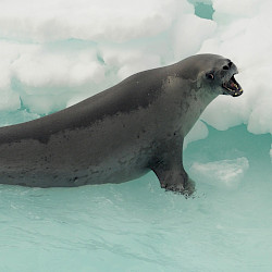 Crabeater lying on blue ice with mouth open