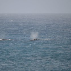 Two southern right whales
