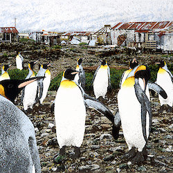 Atlas Cove illustration by Sally Robinson shows many king penguins