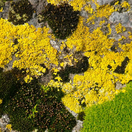 Yellow lichen and black moss on rocks