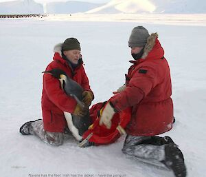 Two scientists trying to capture an emperor penguin