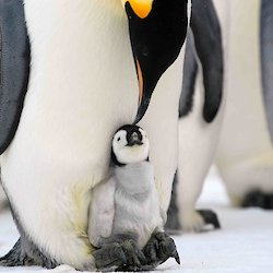 Emperor penguin chick on parent's feet