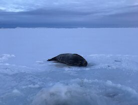 Weddell seal at haul out hole