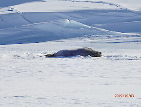 Pregnant Weddell seal in Long Fjord