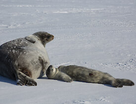 Mum Weddell seal with healthy pup