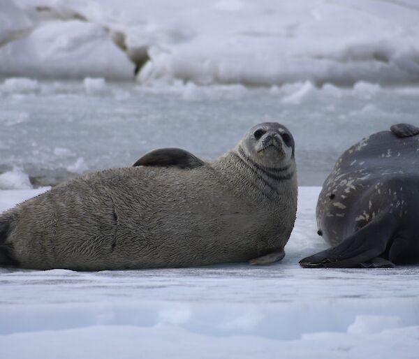A weddell seal pup and its mother lying on the grey sea ice