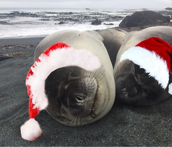 Two ellie seals on the beach at Macca with superimposed Christmas Hats