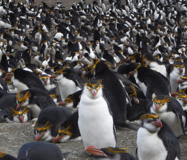 Royal penguin at Macquarie Island