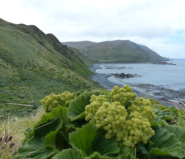 Stilbocarpa at Brothers Point. Very common across Macquarie Island