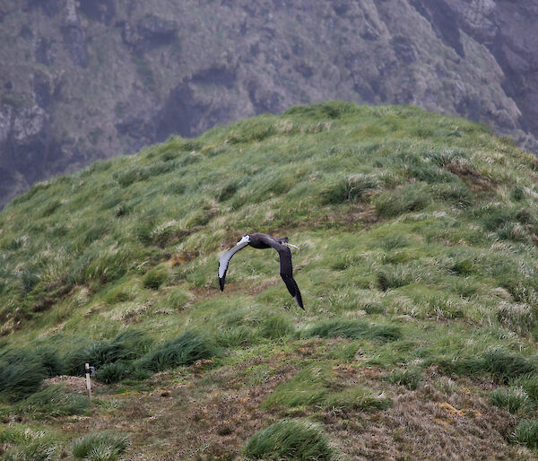 A wandering albatross flying for the first time on Macquarie Island