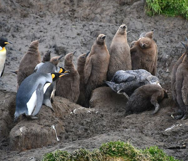 A Giant petrel attacks a fluffy brown King penguin chick creche