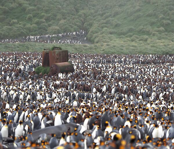 Thousands of king penguins surround a rusted metal structure on a beach