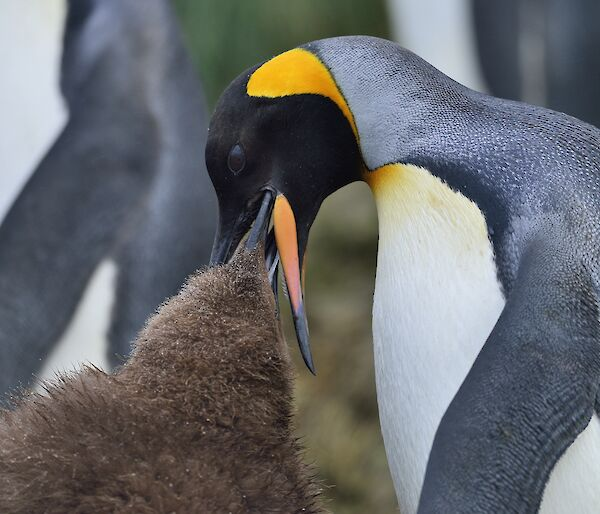 A brown fluffy King Penguin chick is feeding from the beak of an adult King penguin