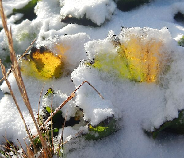 A close up of a Maquarie Island cabbage leaf covered in snow with sunshine glowing through