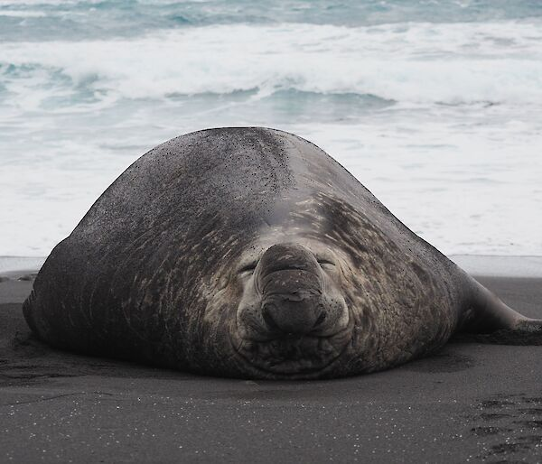 A large male elephant seal with a scar down it's back is laying flat on the beach