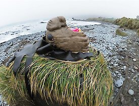 An elephant seal cake sits on top of a tussock outside with a beach in the background