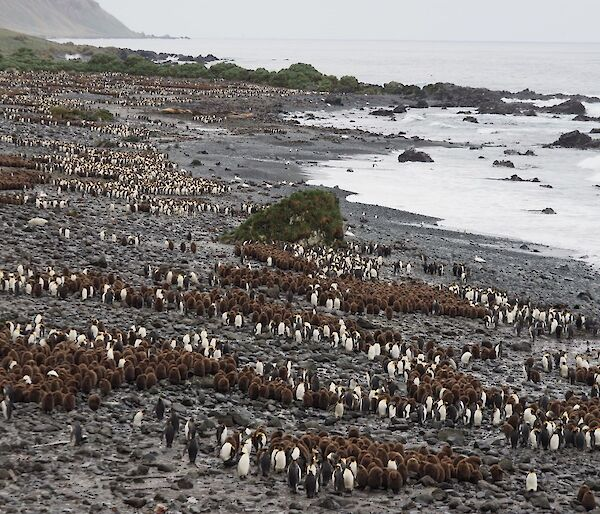 A series of huddled brown penguin chicks along a coastline