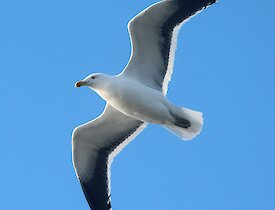 a white kelp gull flies with open wings against blue sky