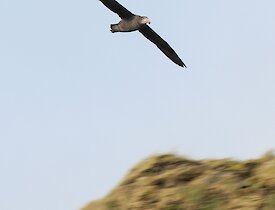 a brown and grey northern giant petrel ridge soars at speed from a tussock covered ridge