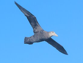 a giant petrel with open wings against a blue sky backdrop