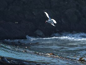 a small white antarctic tern hovers just above the water line with a rocky outcrop in the background