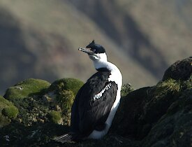 The Macquarie Island shag (a blue eyed black and white cormorant) sits on a rocky outcrop