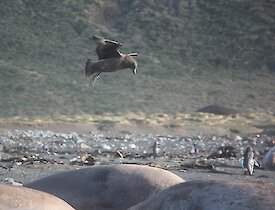 A brown skua hovers above the back of a brown elephant seal on the beach