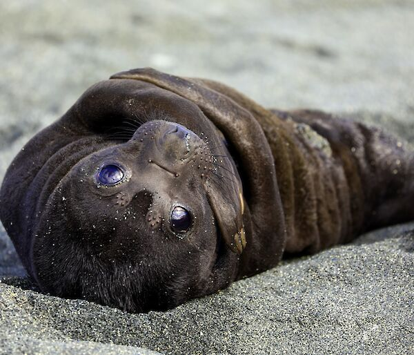 A dark brown, furry, newborn elephant seal pup lays on the sand