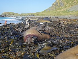 Grey and brown giant petrel birds are feeding off a dead elephant seal bull