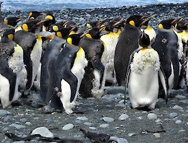 a group of king penguins are in various states of moult, some with down, some with feathers