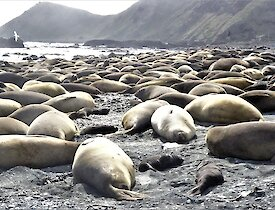 a harem of elephant seal cows and pups lay on a beach with mountains in the background