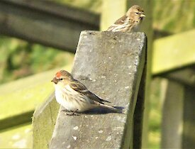 two redpoll birds rest on a wooden beam