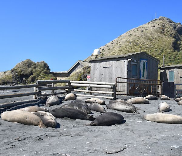 18 Elephant seal weaners are lying in front of a wooden fence and building