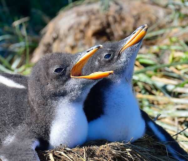 a pair of gentoo chicks sit on a nest, one with beak open