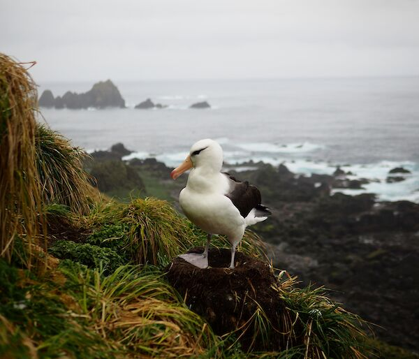 A black browed albatross sits on a nest on the edge of a steep cliff