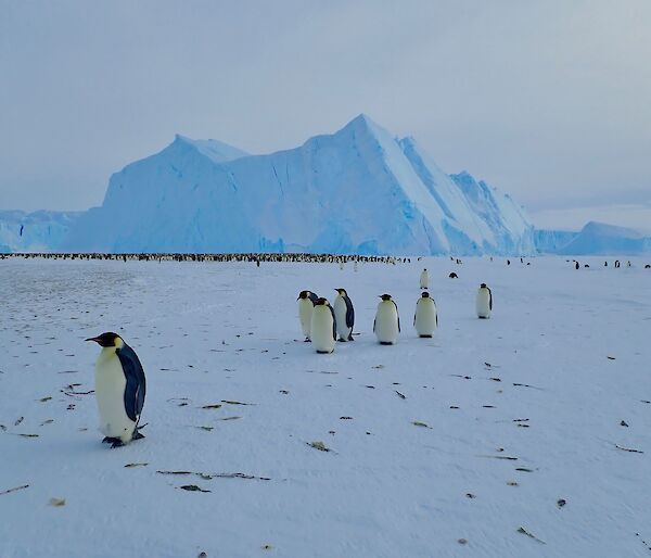 Auster Emperor penguin rookery — Mawson.