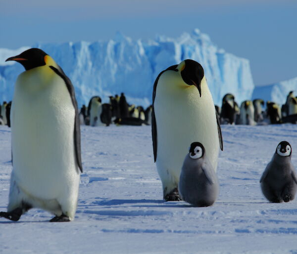 Emperor Penguins and chicks — Auster Rookery, Mawson Station.
