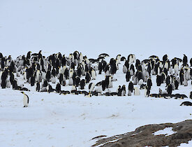Taylor Emperor penguin rookery — Mawson.
