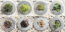 Two rows of Antarctic mosses grown in normal soil or soil contaminated with fuel.