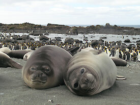Two elephant seals on the beach with king penguins in the background.
